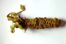 Wasabi rhizome